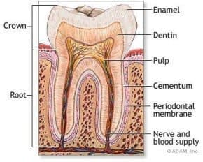 Inner diagram of tooth with nerves